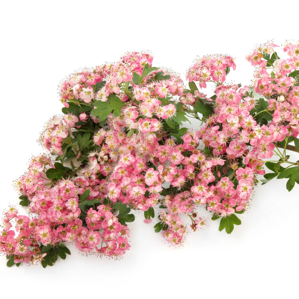 Pink Hawthorn Flower Essence Chirons Apothecary