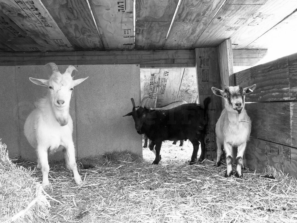 Testimonials - People from Portland and beyond have had lots to say about the restorative impact of visiting The Belmont Goats.