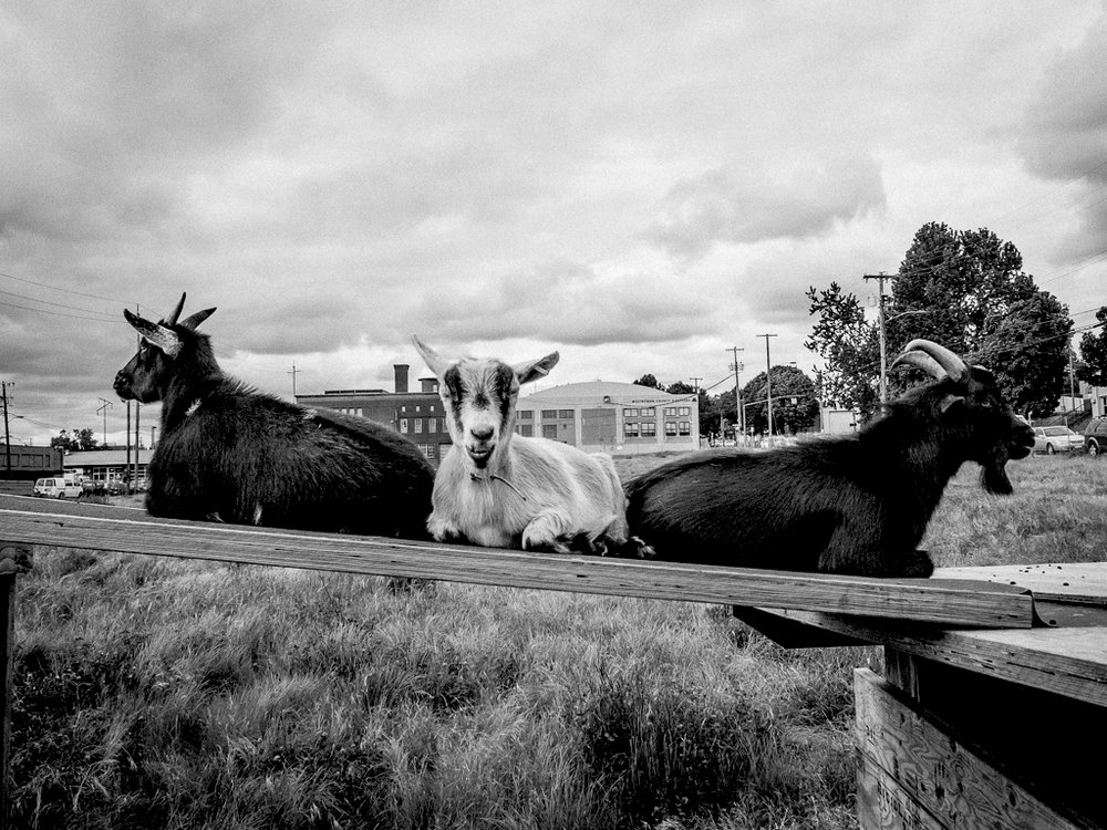 Our Goats - Learn to identify each goat, when they joined the herd, and how they are and are not related to each other.