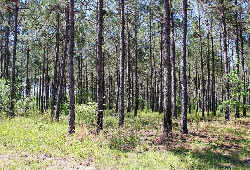 82 ac Planted Pines-sm.jpg