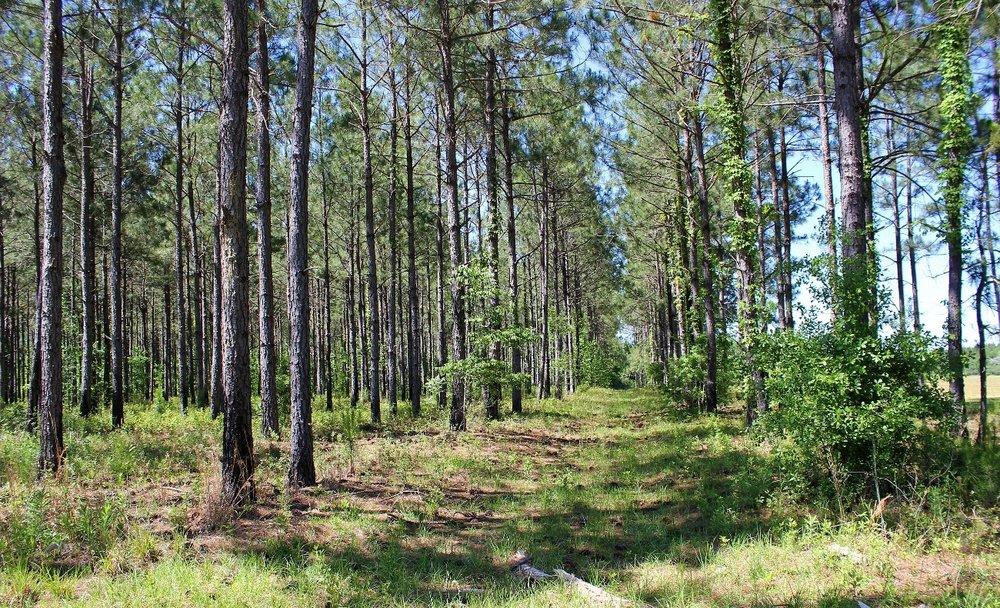 82 ac Planted Pines-sm2.jpg