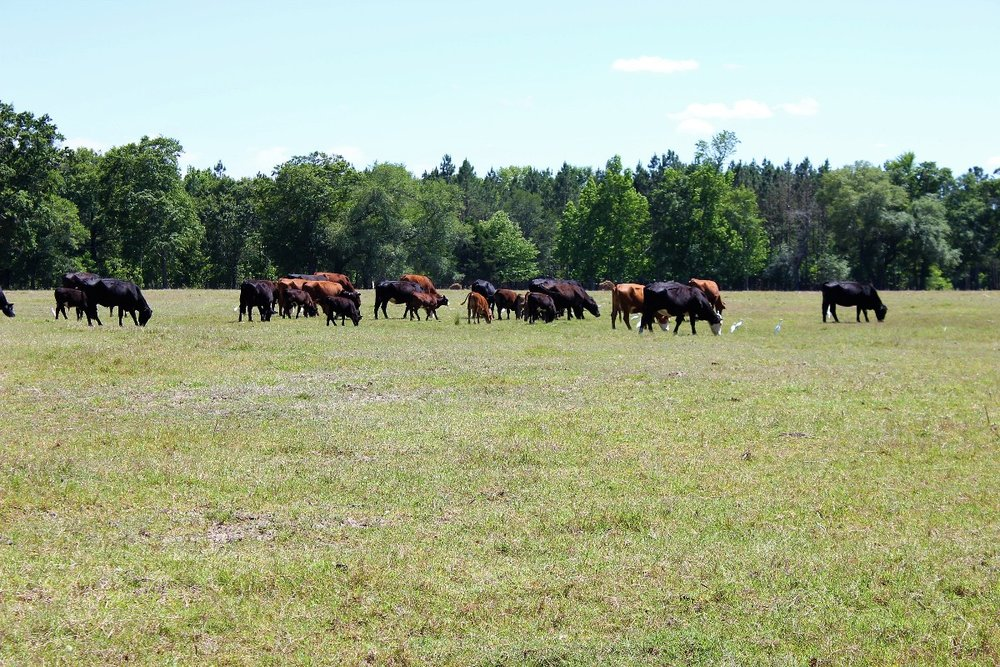 Cattle on Property2.jpg