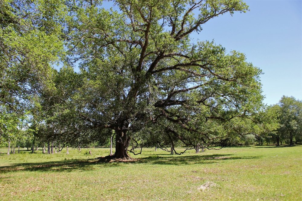 Large Oaks on Property2.jpg