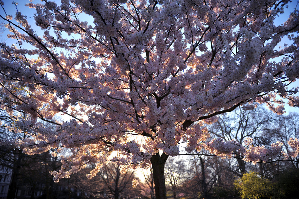 fruit tree blossoms stunning sunset.jpg