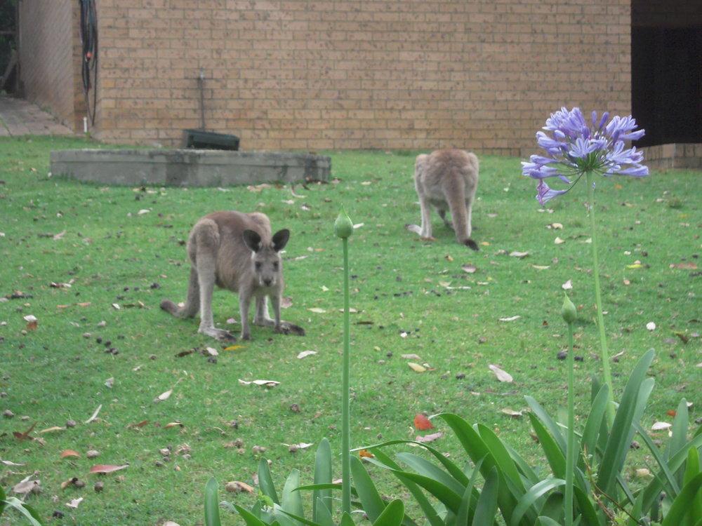 AUSTRALIA 2014 -- Depot Beach Kangaroos.JPG