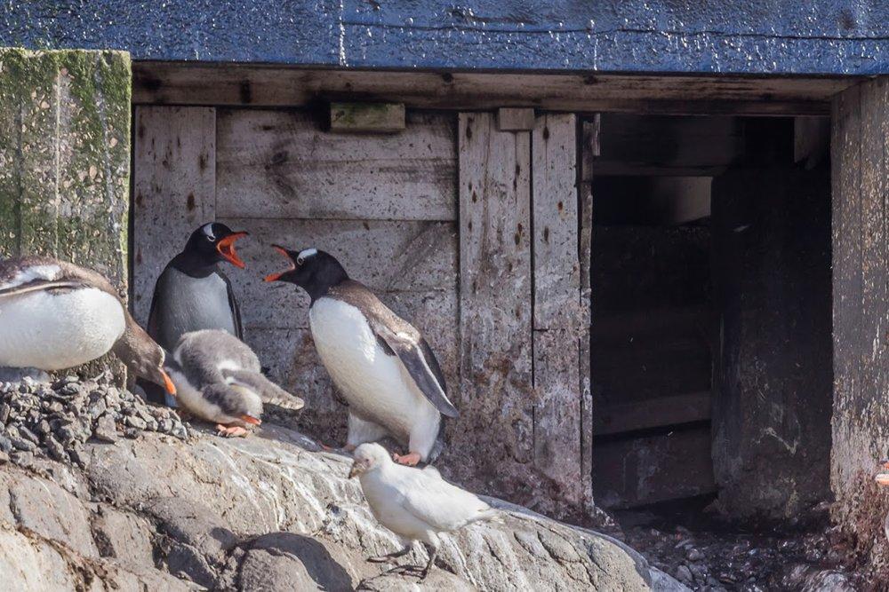 Gentoo penguins squabbling.