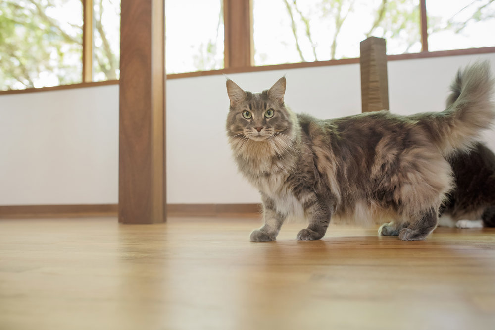 Billie Pawliday - Billie Pawliday of High Silver Maine Coon, named after the remarkable Billie Holiday, is the resident diva, style guru, and formalist. When Billie isn't snacking, she's busy making sure that all Catempo products are up to her design standards and have that je ne sais quoi. If the product doesn't look good next to her, then the Catempo brand isn't interested.