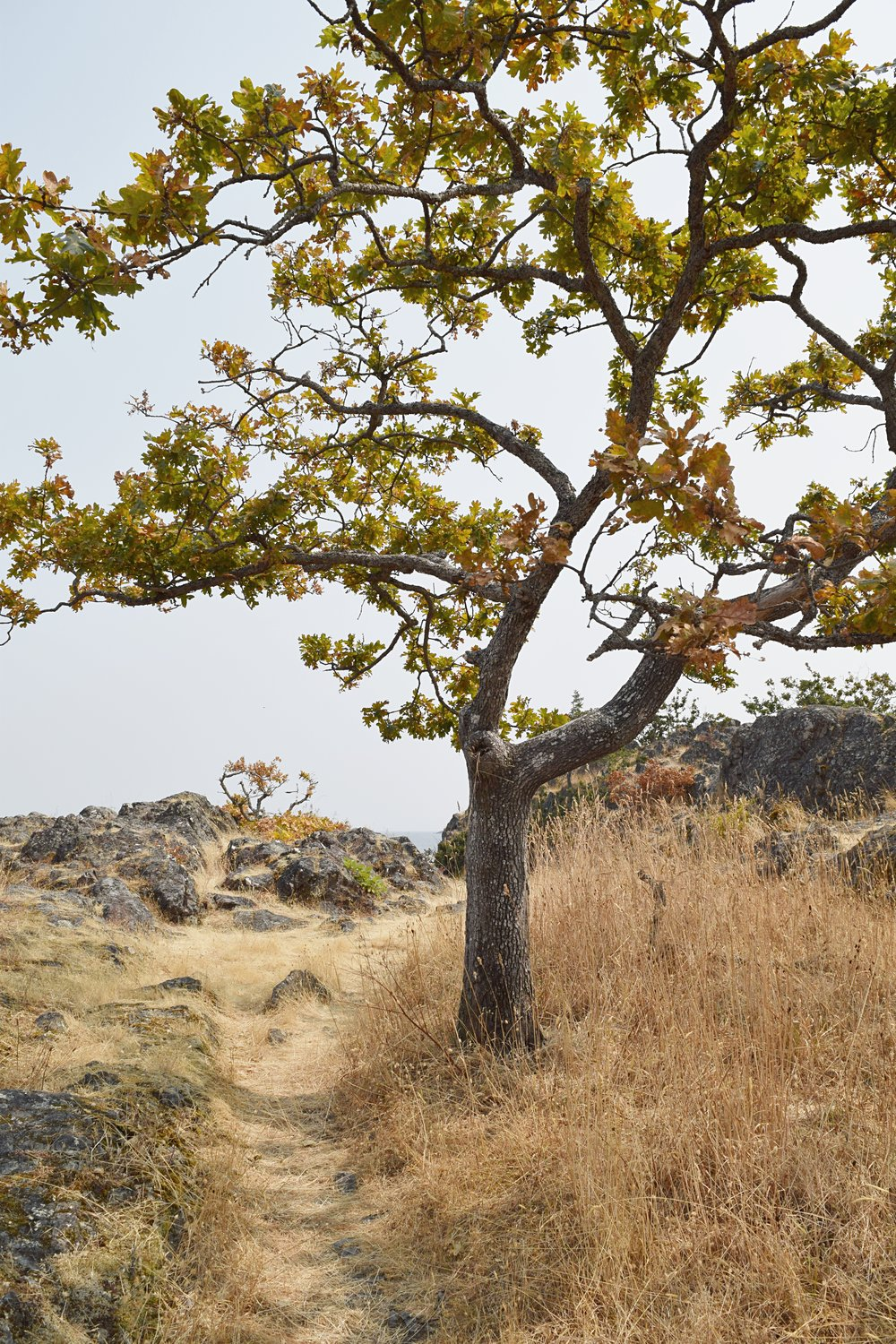 pipers lagoon park garry oak tree