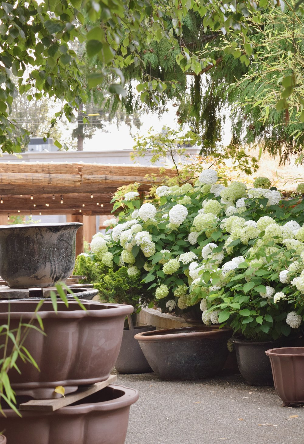 hydrangea and pottery at coombs market gardening center