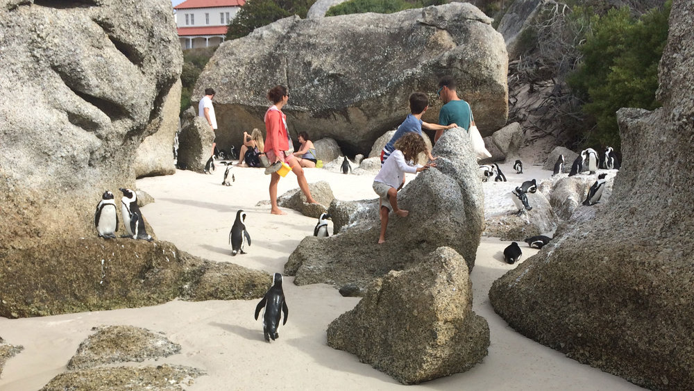 African-Penguins-of-Boulders-Beach-1.jpg
