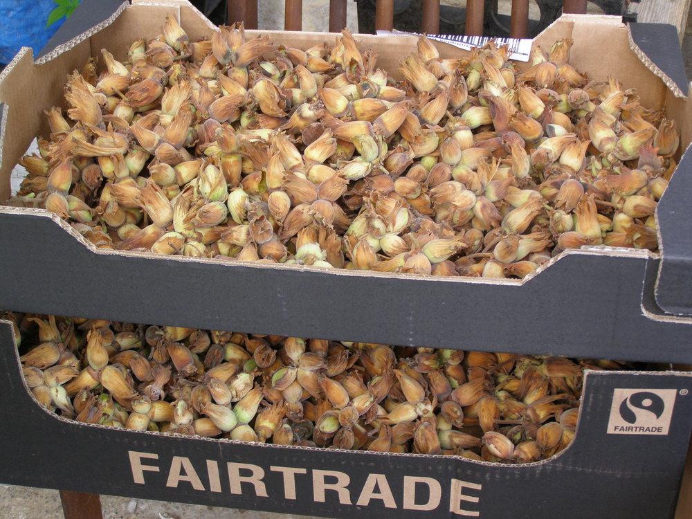 P9132449 Cobnut harvest.jpg