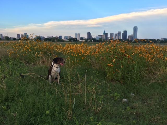 Amanda's #1 dog, digging the Dallas skyline.