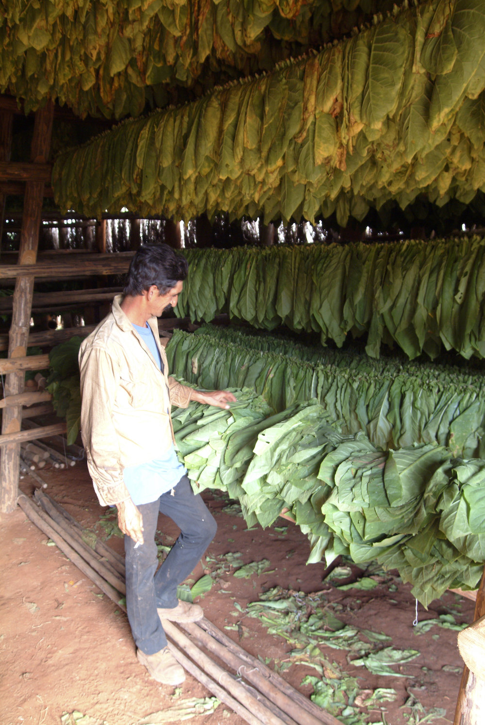 A tobacco farmer in Vinales, Cuba, shows his crop.  Image by New Orleans based travel photographer, Marc Pagani