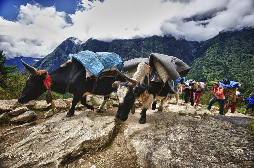 yaks carry supplies to Mount Everest base camp in the Nepal Himalayas.  Image by New Orleans based travel photographer, Marc Pagani