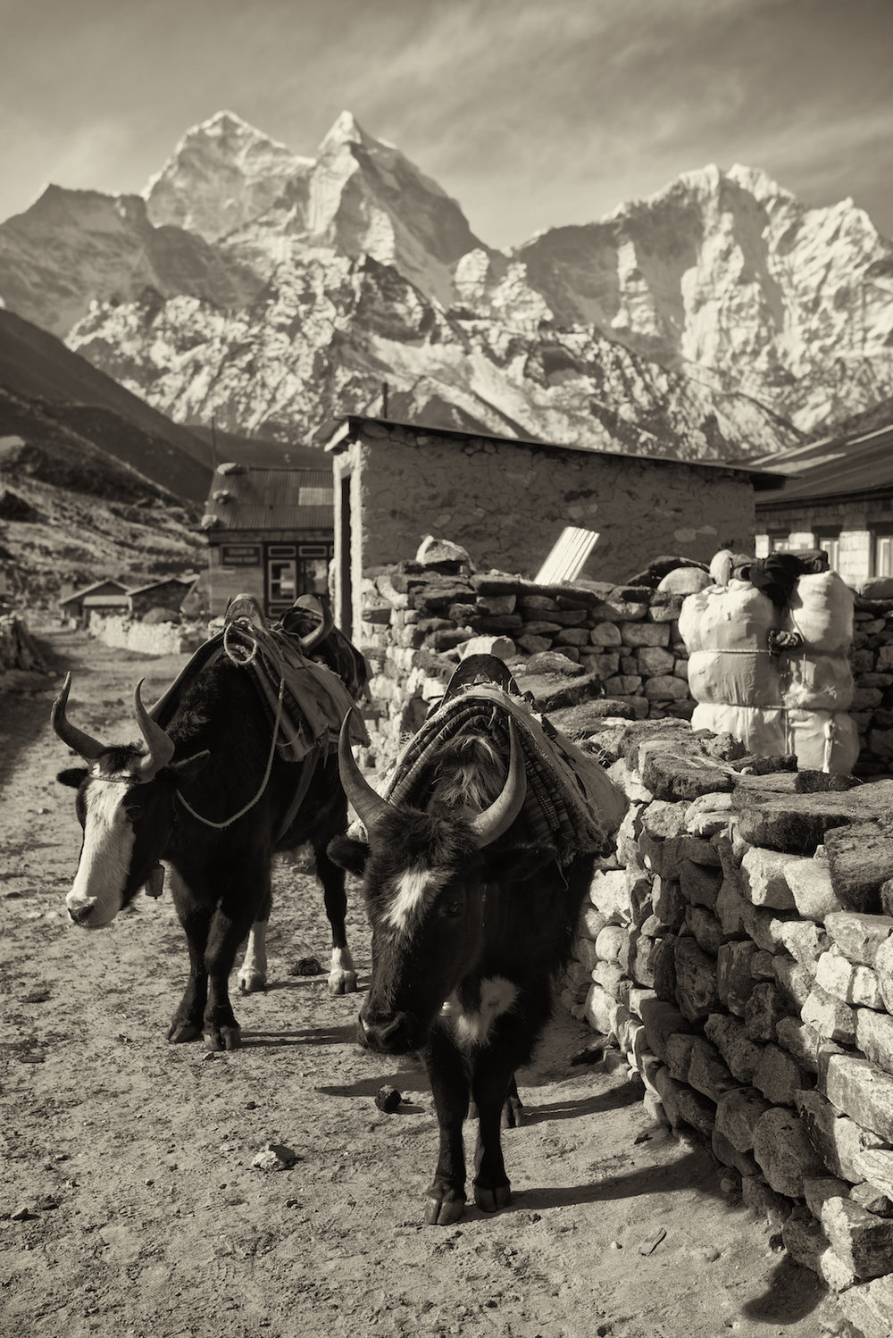 Yaks at the village of Dengboche, on the way to Mount Everest Base Camp in the Nepal Himalayas.  Image by New Orleans based travel photographer, Marc Pagani - marcpagani.com