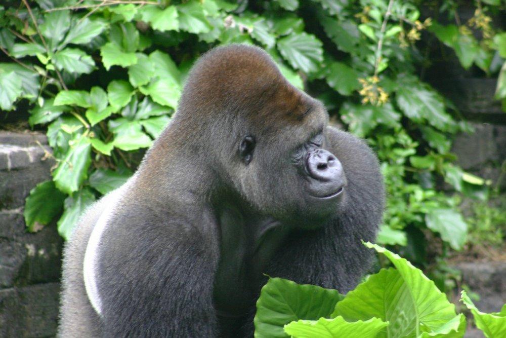 Male-Gorilla.jpg