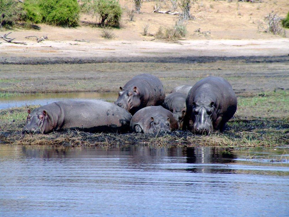 Chobe-hippos-1.jpg