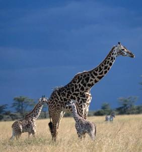 Moremi giraffes