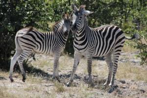 Moremi zebras