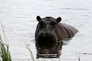 Grumpy Hippo