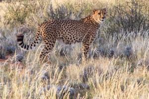 Moremi Cheetah