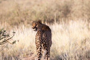 Cheetah I SH