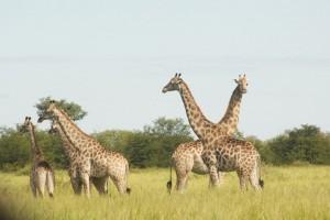 Criss-cross giraffes