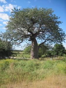 Chobe Baobob tree