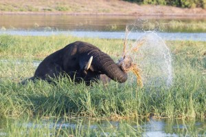 river elephant eating BR