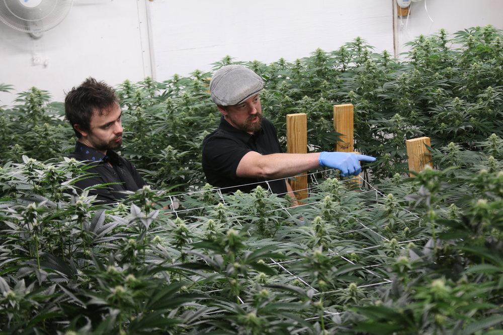 Indoor Cannabis Cultivation Consultation
