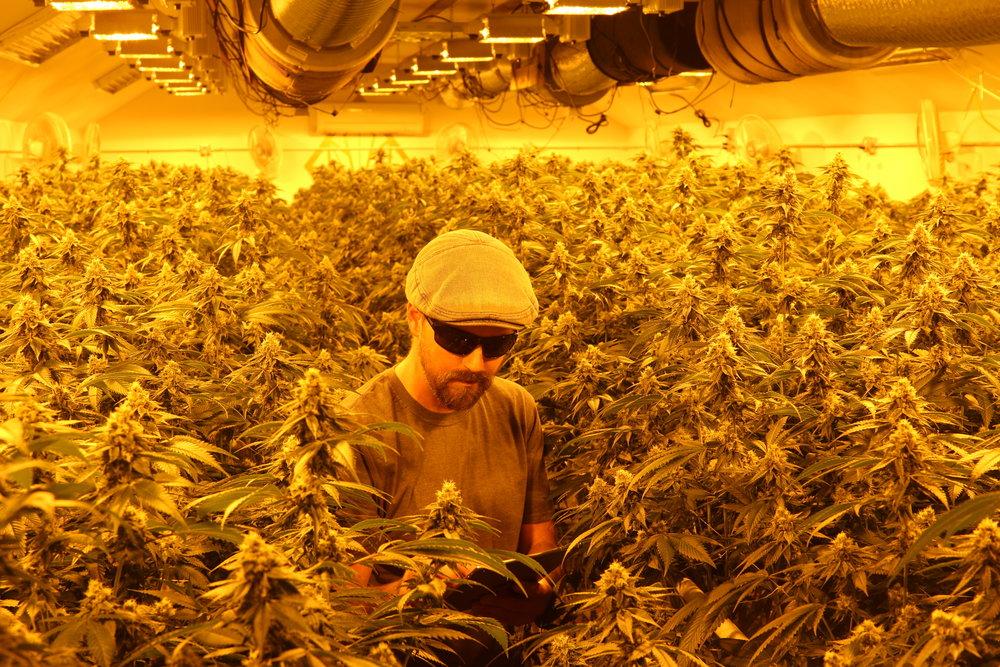 Indoor Cannabis Lighting