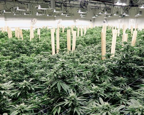 cannabis-grow-final.png