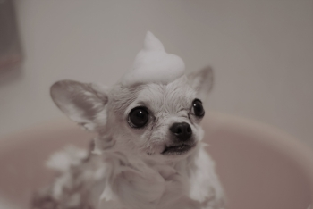 Zero out of one Chihuahuas enjoy bath time.  -