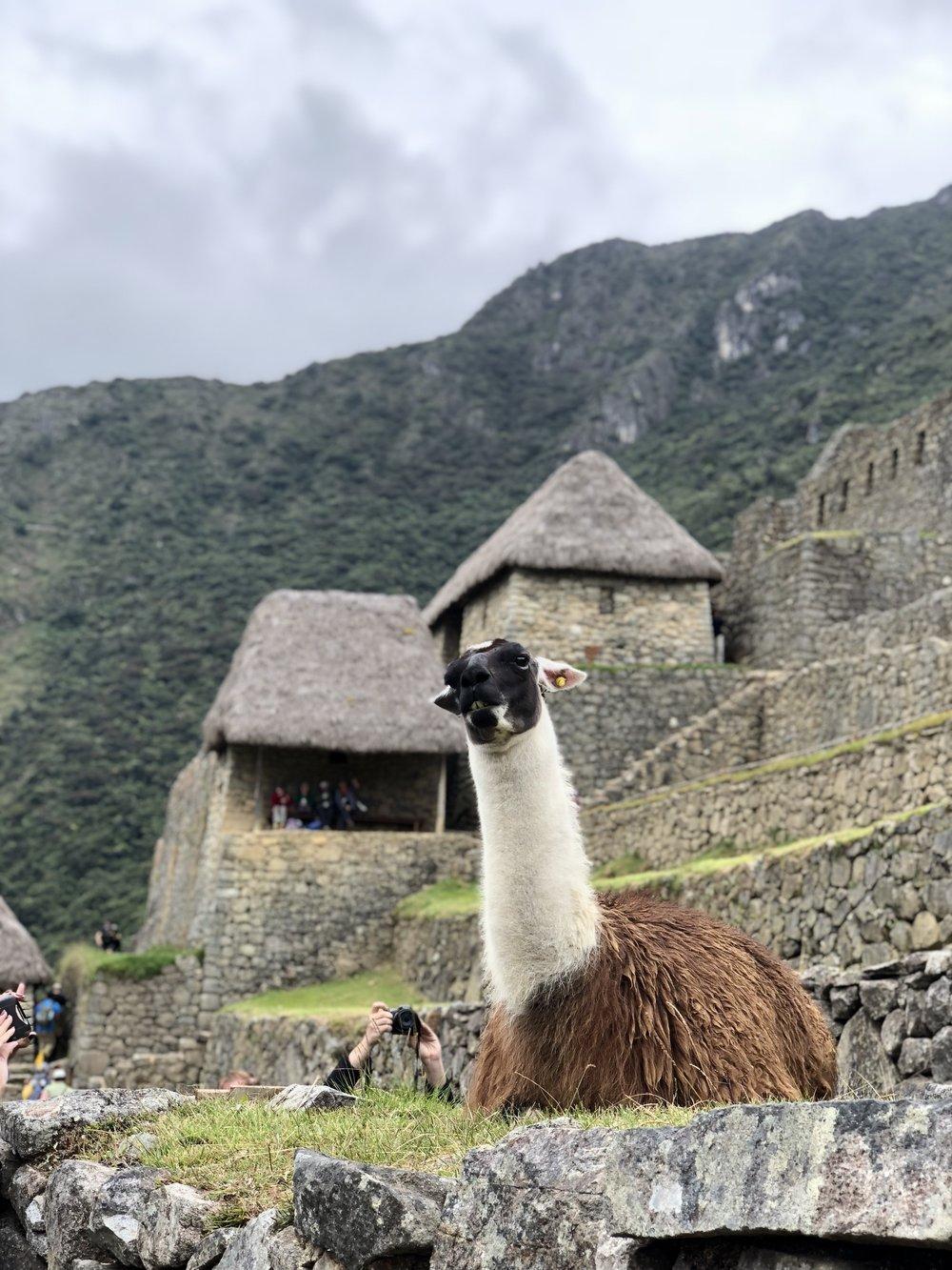 Precious llamas all around the Machu Picchu site!