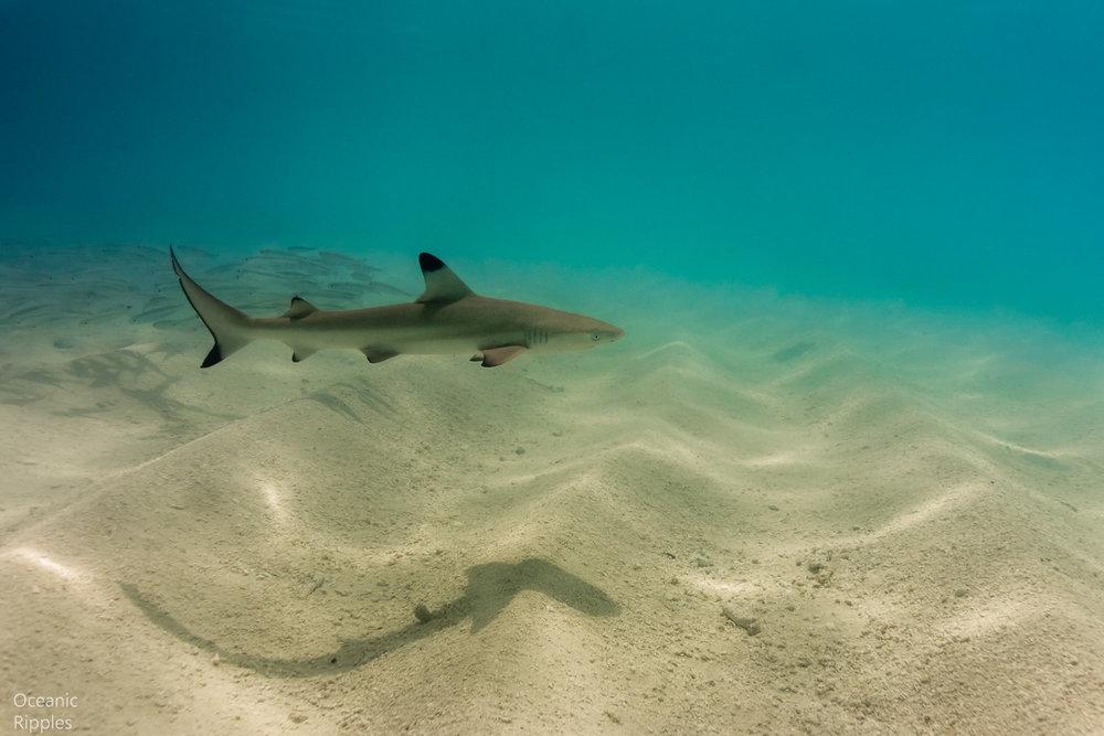 Juvenile Black Tip Shark