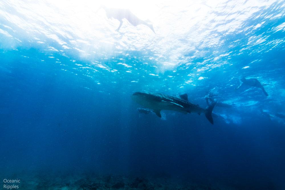 Mantas and Whale Sharks-4.jpg