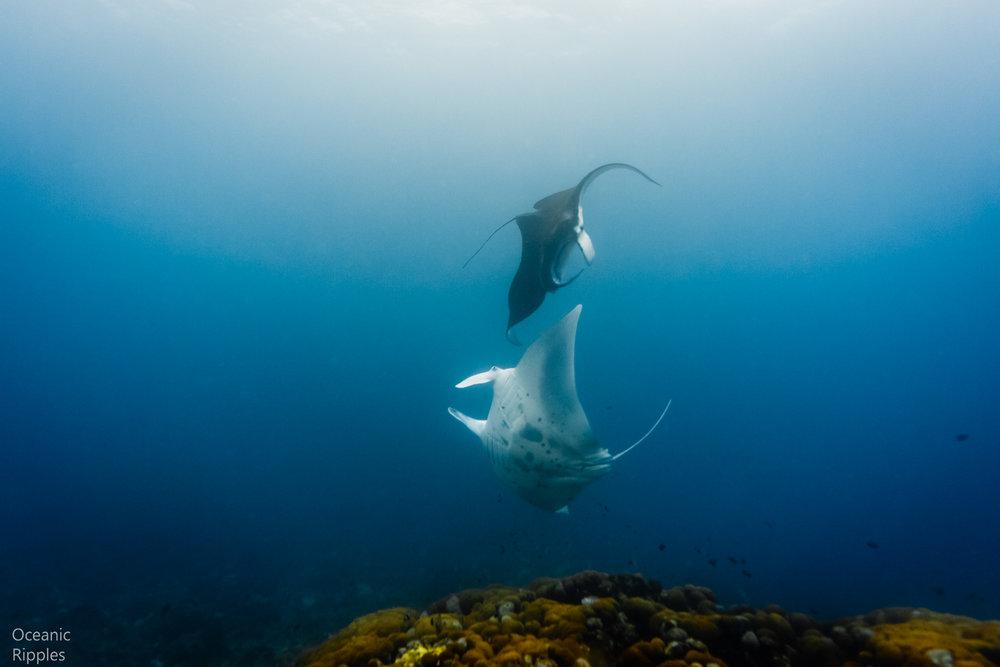 Mantas and Whale Sharks-5.jpg