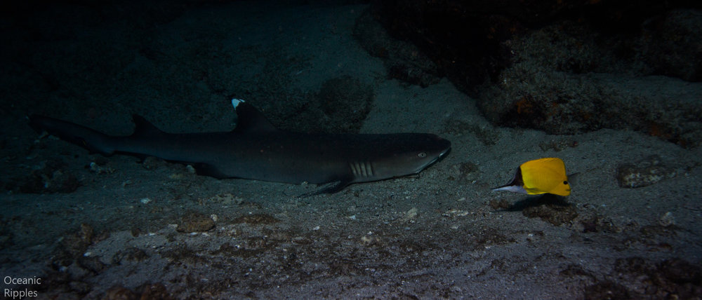 White tip reef shark in Hawaii