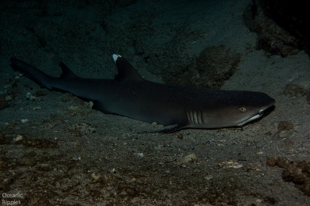 White tip shark at Kona