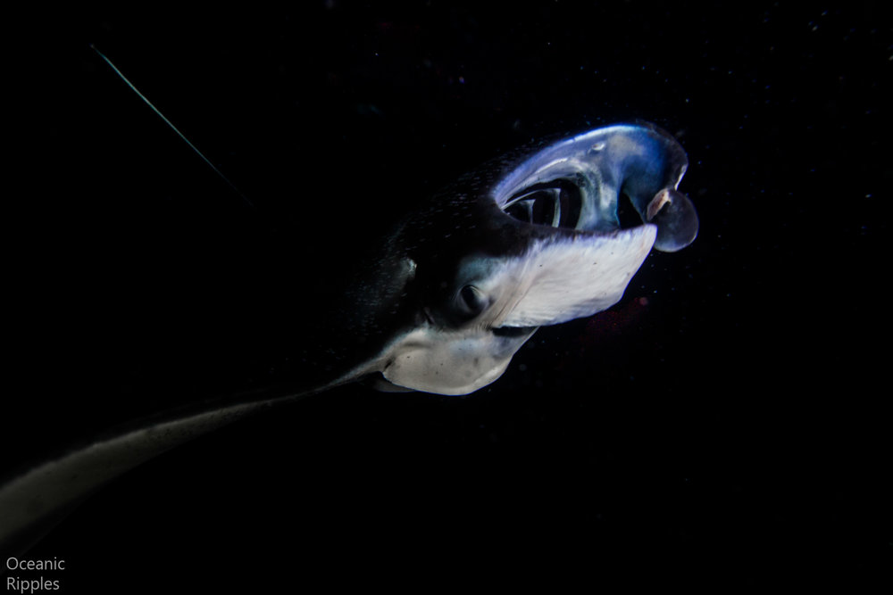 Feeding manta ray at night