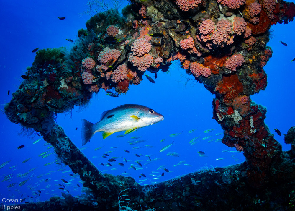 Fish Swimming at the SS Yongala Wreck
