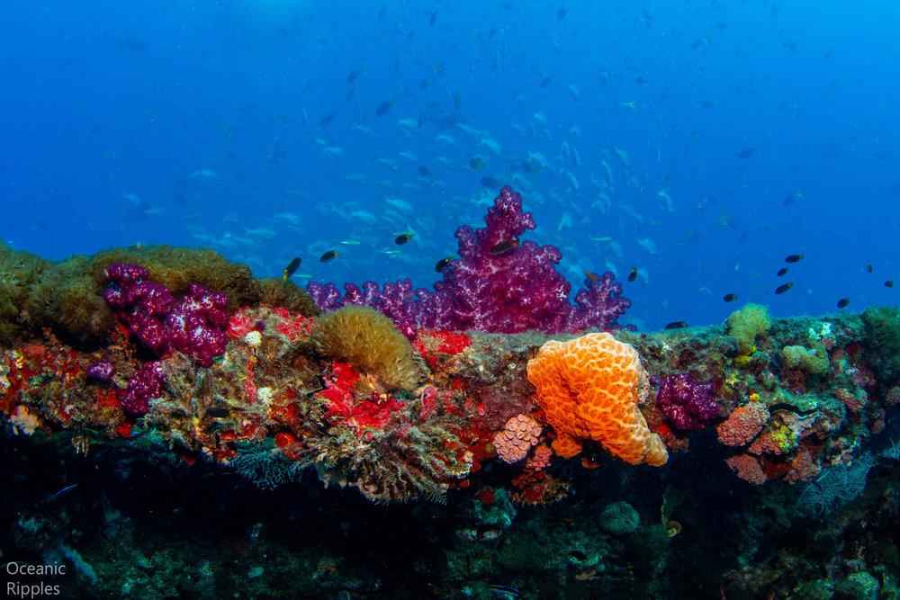 Stunning Coral Diversity at the Yongala Wreck