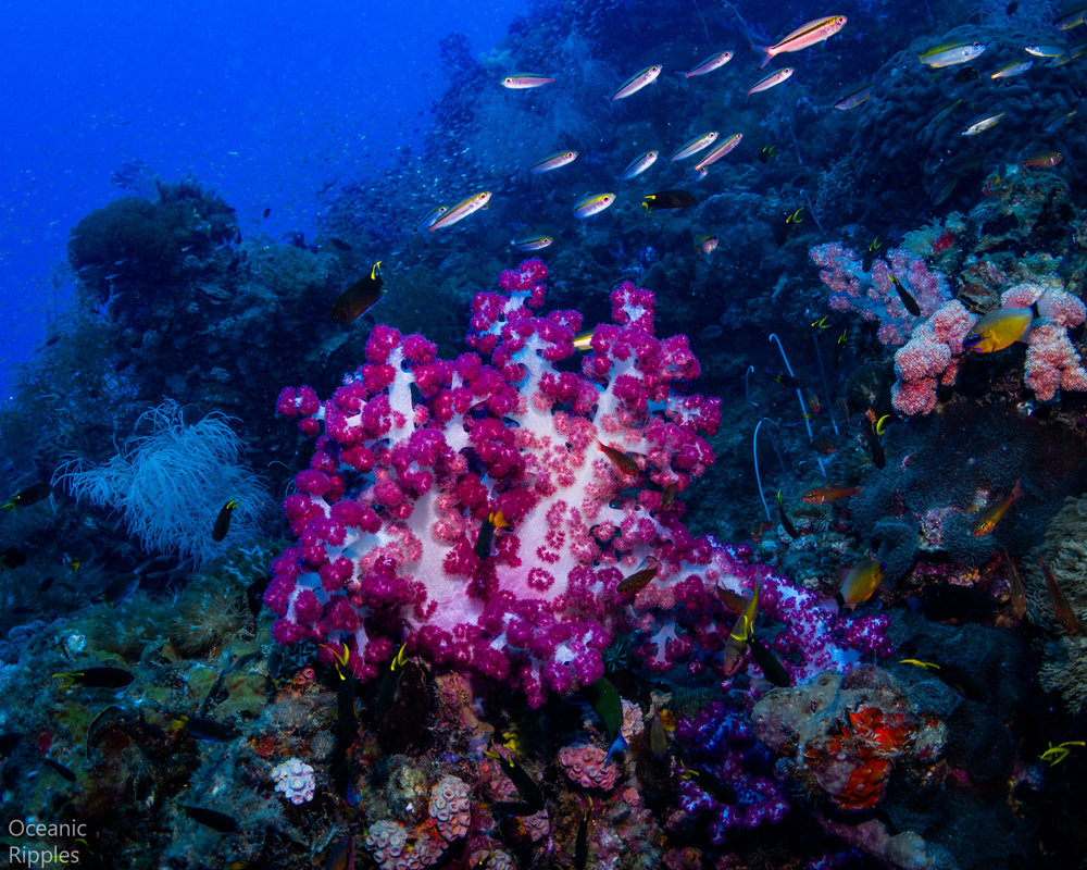 Soft Coral at SS Yongala Wreck in Queensland, Australia