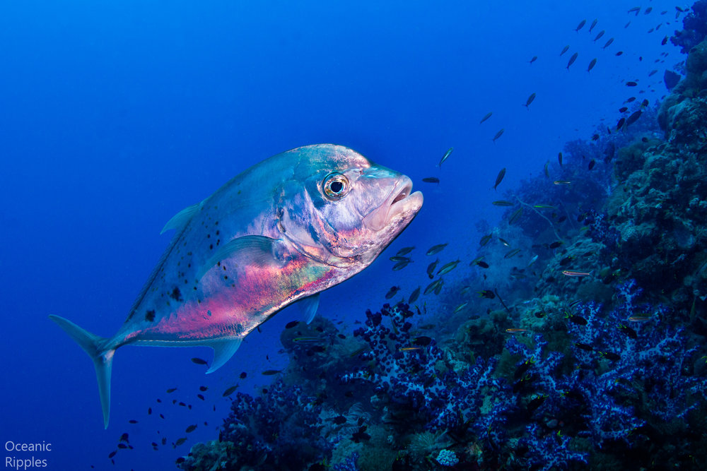Giant Trevally at SS Yongala Wreck