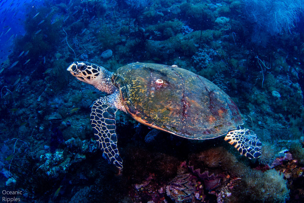 Turtle at the Yongala Wreck
