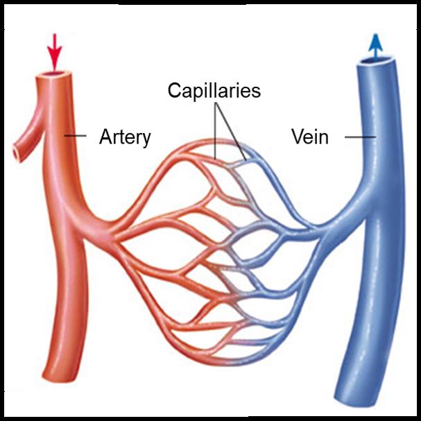 ACSM IPE Blog capillary bed.png