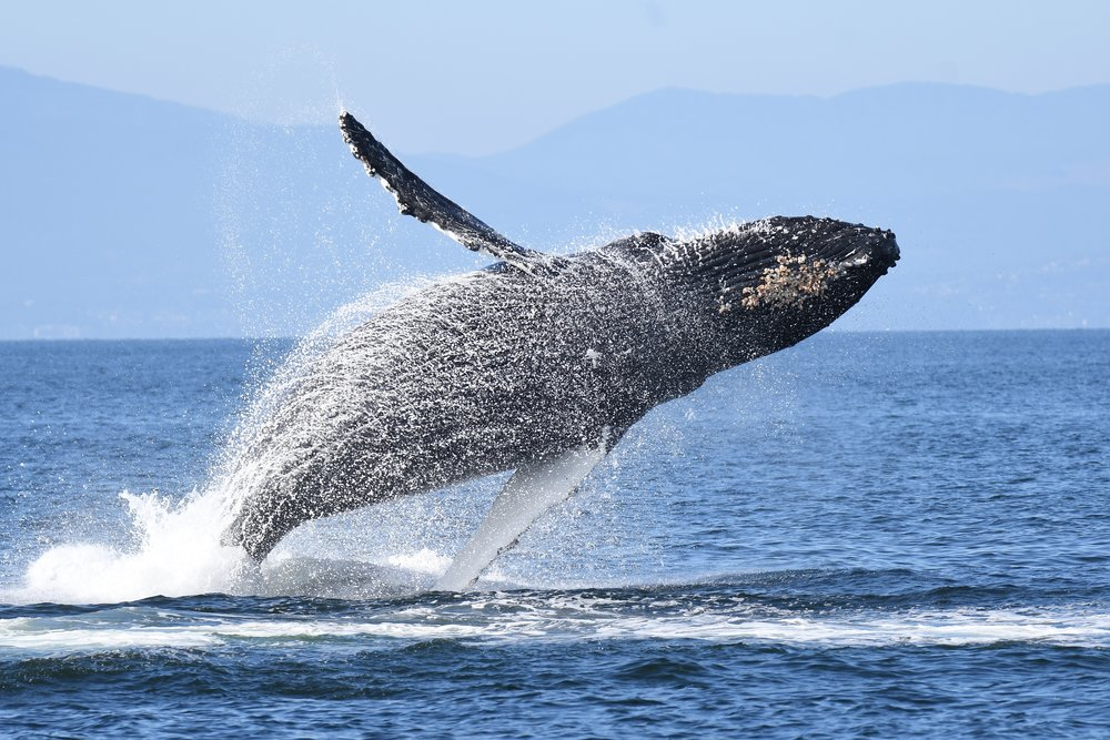 A humpback whale breaches clear out of the water!