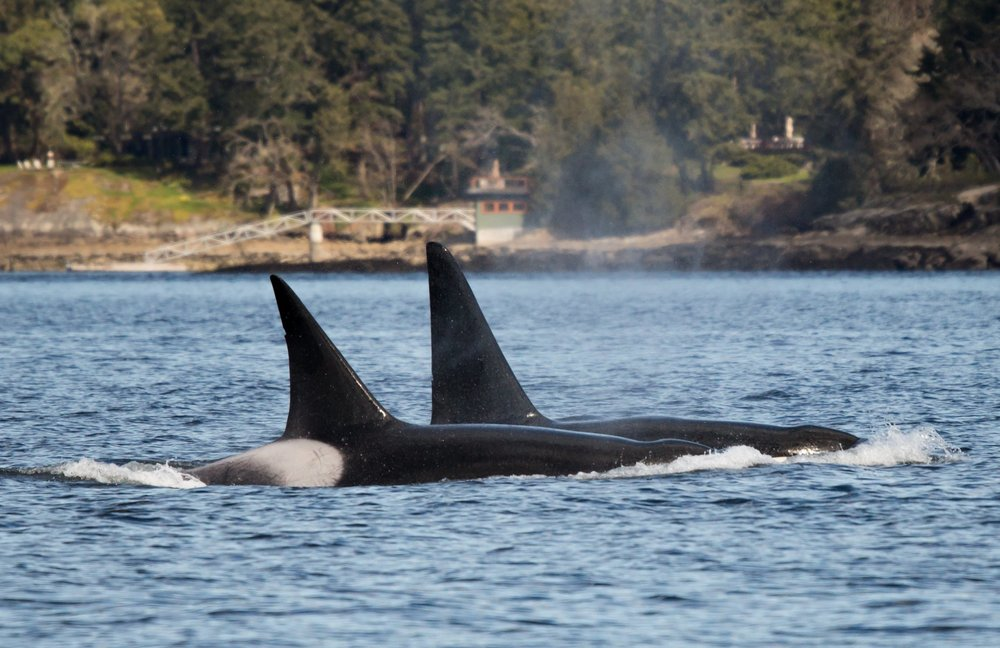 Two lone male orca, T49A1 and T124C travelling near Chemainus. Photo by Natalie Reichenbacher, cropped and zoomed.