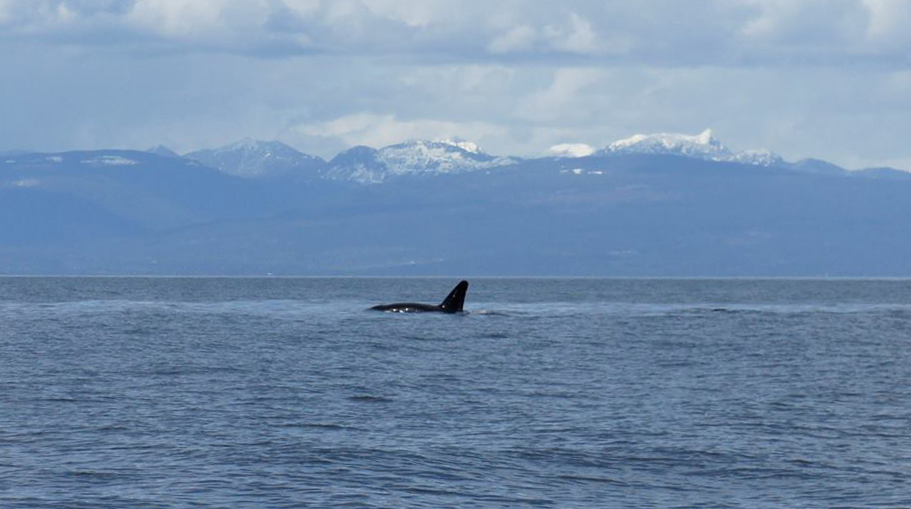 T19B shows his unusual dorsal fin while surfacing near Snake island. Photo by Val Watson, cropped and zoomed.