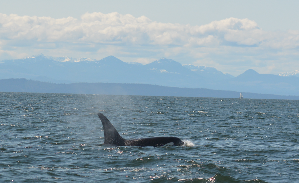 T100C, a 16 year old male, catching some sun in the Strait of Georgia. Photo by Alanna Vivani.